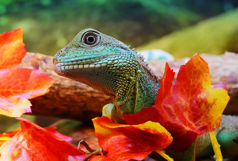 Close-up photo of green iguana on maple leaf