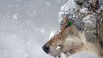 Closeup photo of wolf face covered of snow