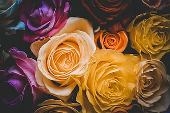 Yellow and pink roses in close up photography