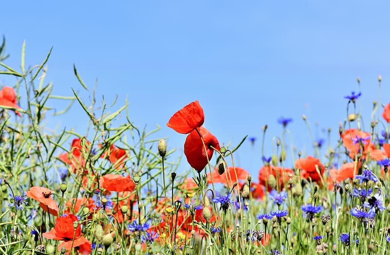 Selective focus photography of red poppy flower field under blue sky