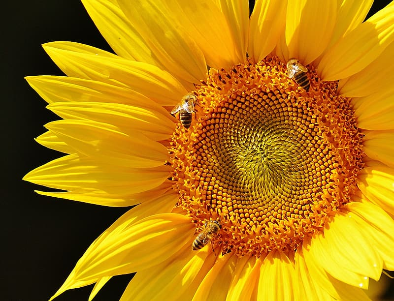Honeybee perched on yellow sunflower in close up photography