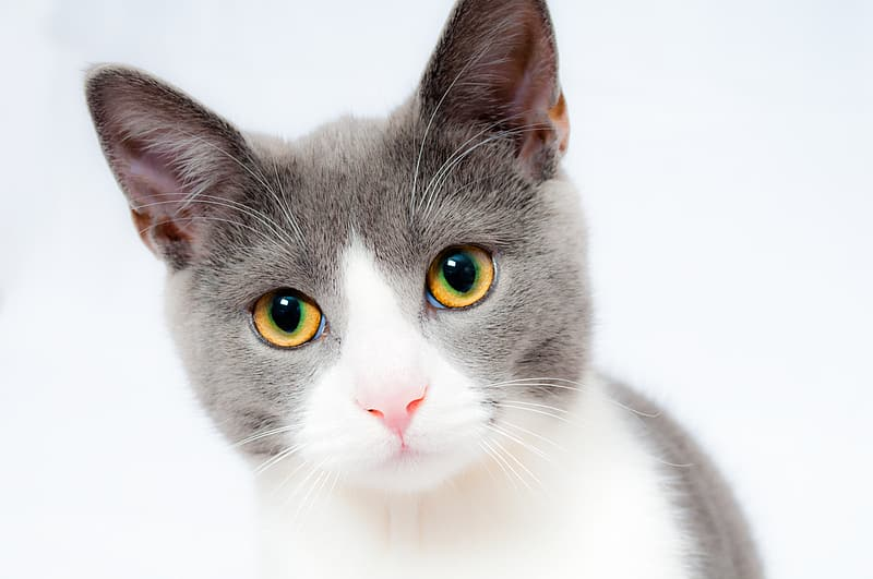 White and gray short-coated cat