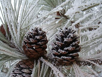 Pinecones covered with snow close-up photo