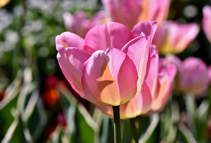 Pink tulip in bloom during daytime