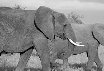 Two elephants walking on grass field