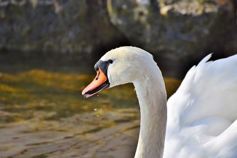 Shallow focus photography of white duck