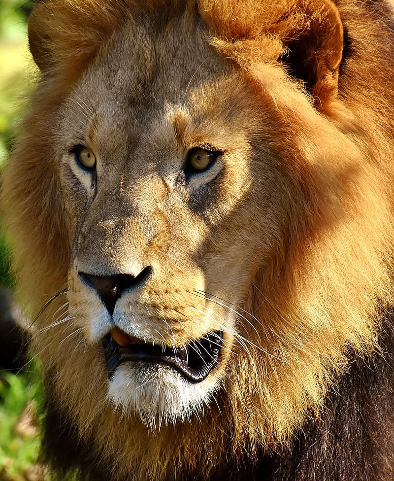 Closeup photography of brown lion