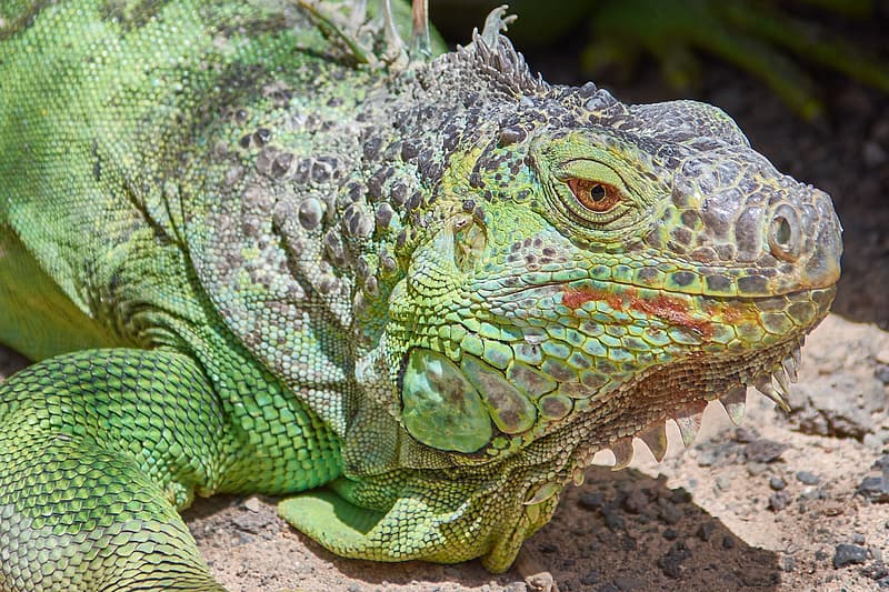 Green and black iguana on brown soil
