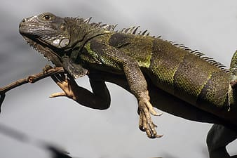 Green and brown iguana on brown tree branch