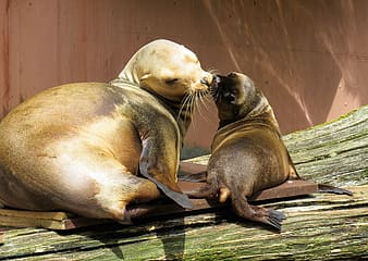Two sea lions kissing on brown platform during daytime