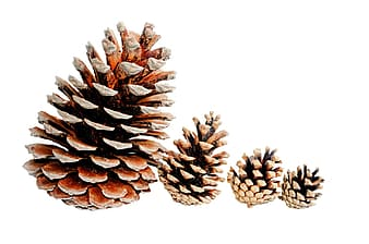 Lined of four pine cones