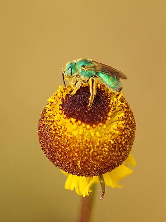 Green and brown cuckoo wasp perched on yellow flower