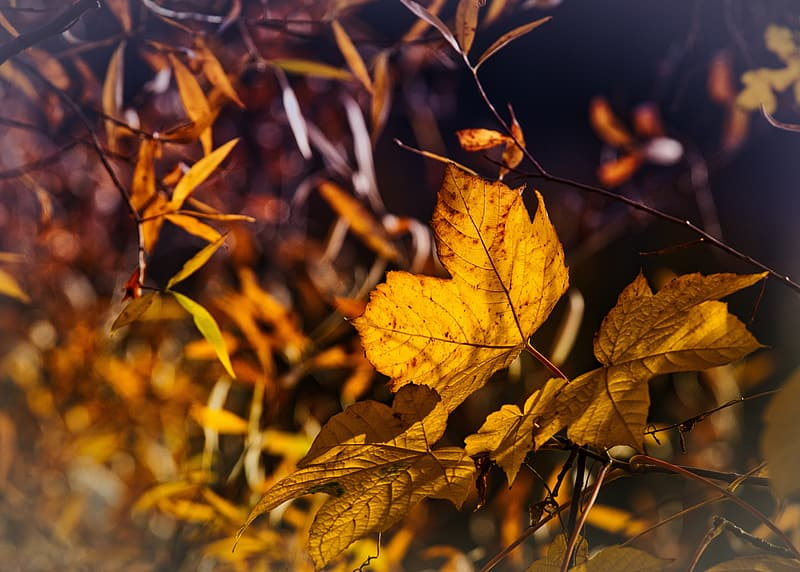 Yellow maple leaf on brown tree branch