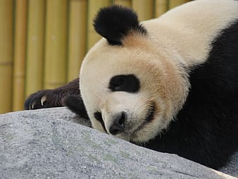 Panda lying on gray rock