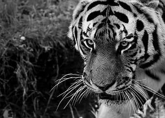Grayscale photo of tiger lying on grass