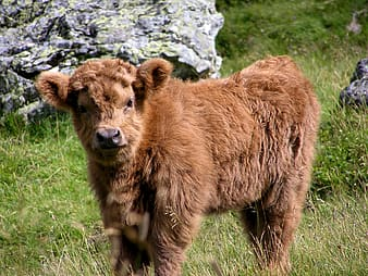 Photo of highland calf standing near stones