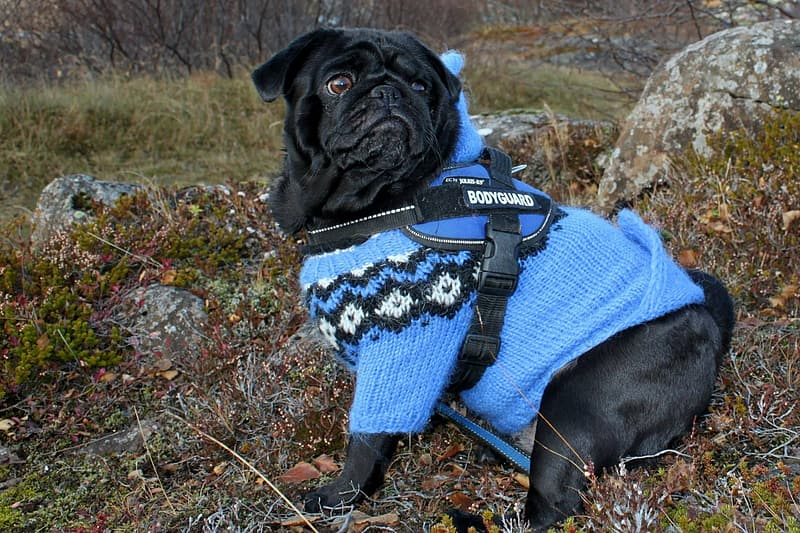 Black pug wearing blue and white knit sweater