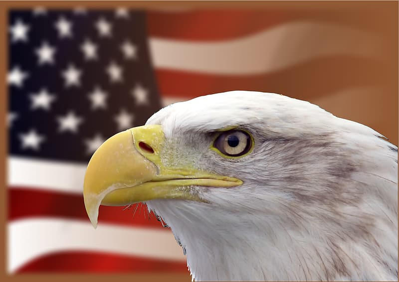 Shallow focus photo of bald eagle in front of American flag