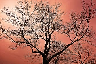 Leafless tree under orange sky