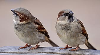 Two brown-and-gray feathered birds