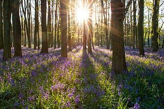 Landscape photography of garden of purple petaled flowers and brown trees with crepuscular ray