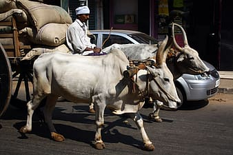 Cow, Indian Transport