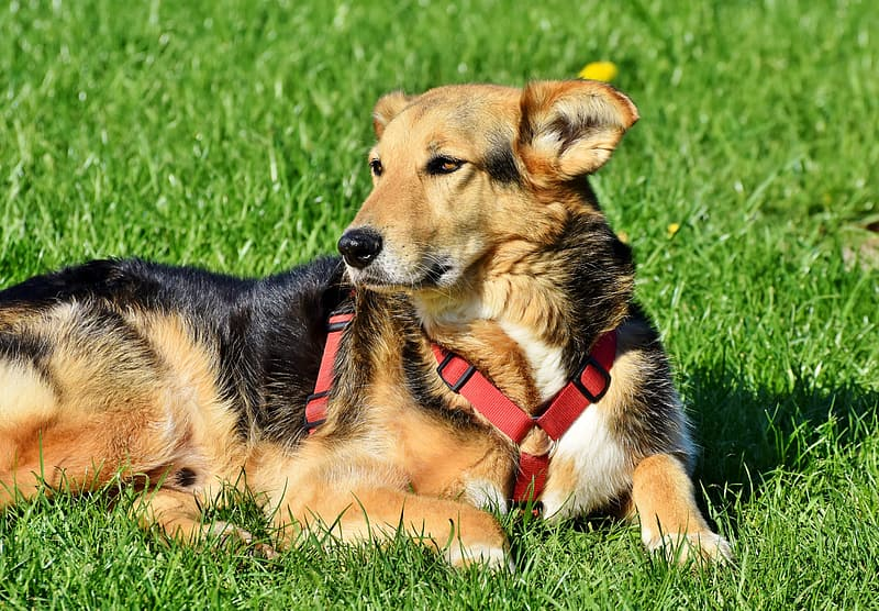 Black and tan short coat dog lying on green grass field during daytime