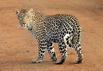 Walking Leopard