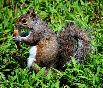 Brown and gray squirrel eating bread