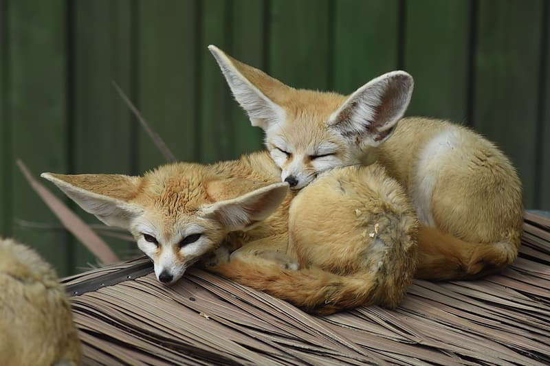 Two large ear animals