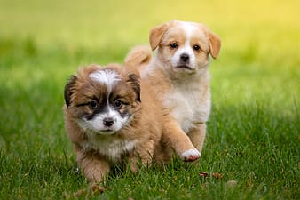 Selective focus photography of two long-coated tan-and-white puppies running on green grass