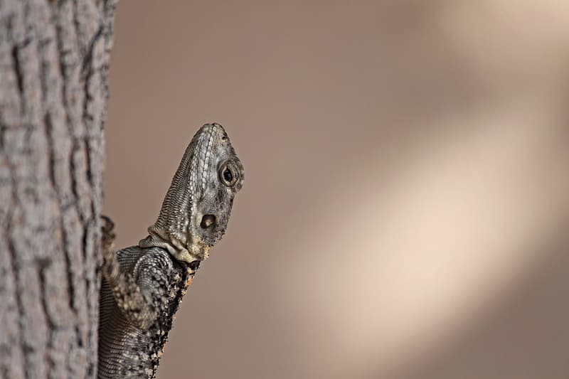 Brown and black lizard on brown tree branch