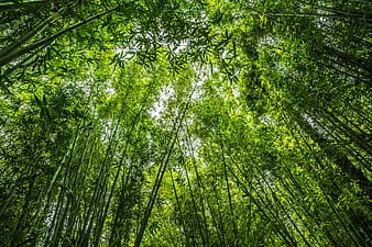 Worm eye view photo of bamboos