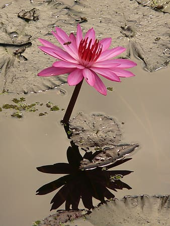 Pink lotus flower reflecting shadow on water