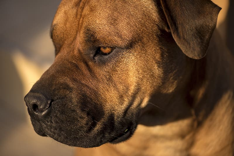 Brown American pit bull terrier close-up photo