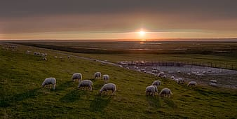 Herd of white sheep on green grass field under grey clouds during golden hour