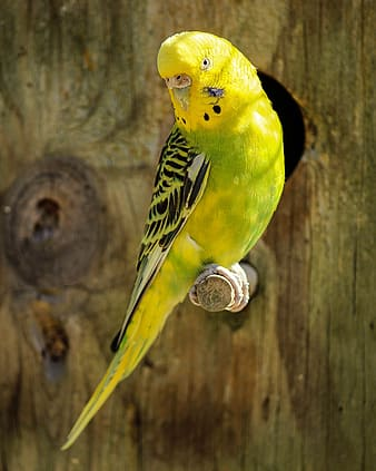 Yellow and green budgerigar on branch