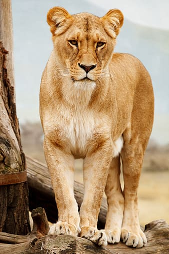 Lioness beside tree