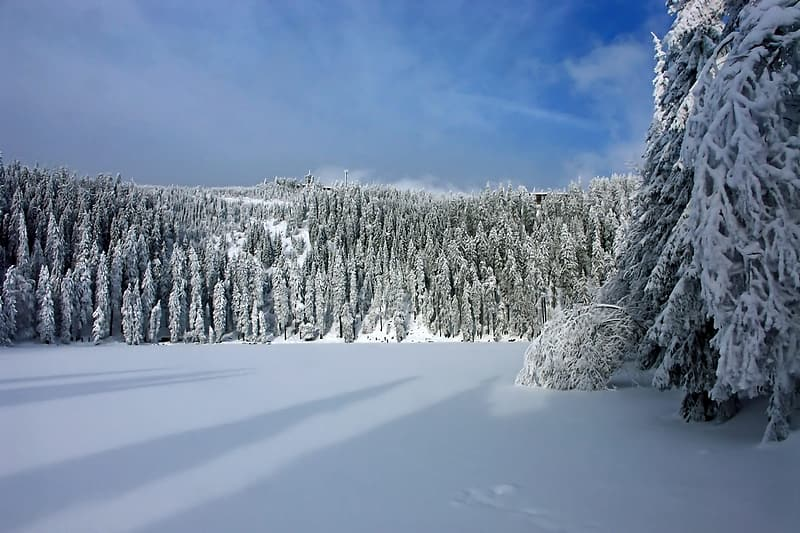 Pine trees covered with snow photography