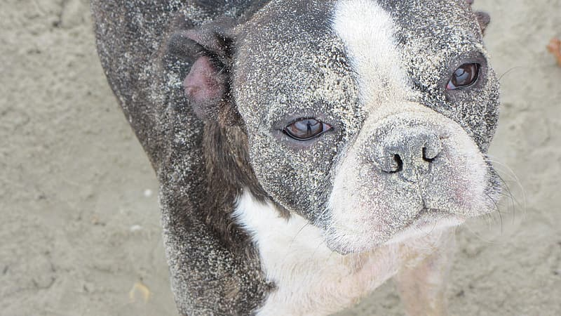 Adult white and black Boston terrier close-up photography