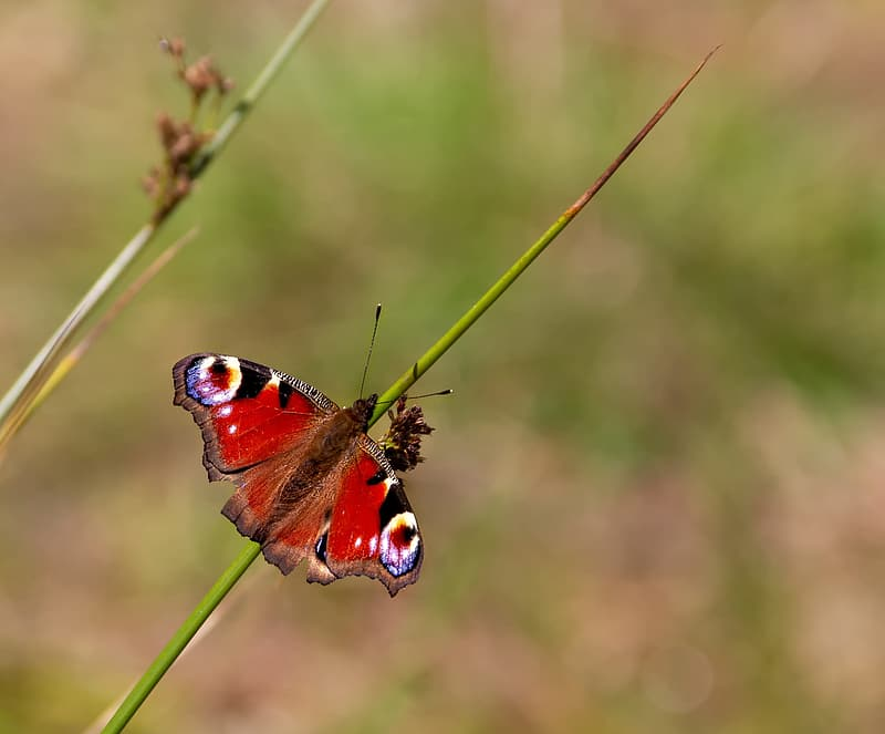 Peacock butterfly perched on green plant during daytime