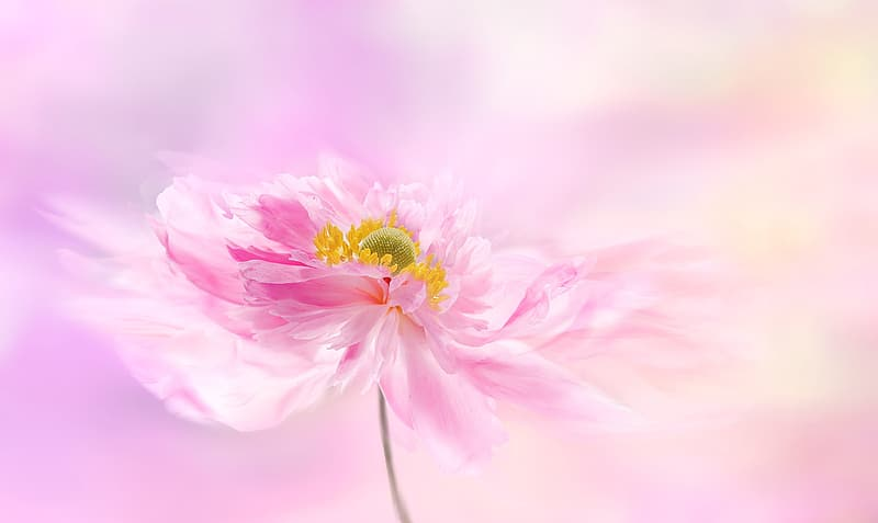 Pink and yellow flower in bloom