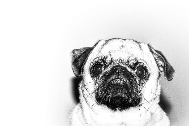 Fawn pug in white background