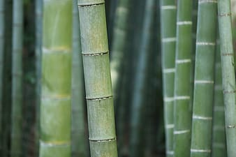 Closeup photography of bamboo plants