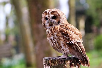 Brown and white owl
