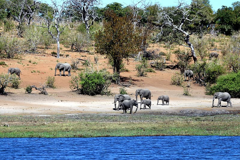 Elephants walking beside lake