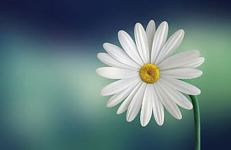 White daisy macro photography