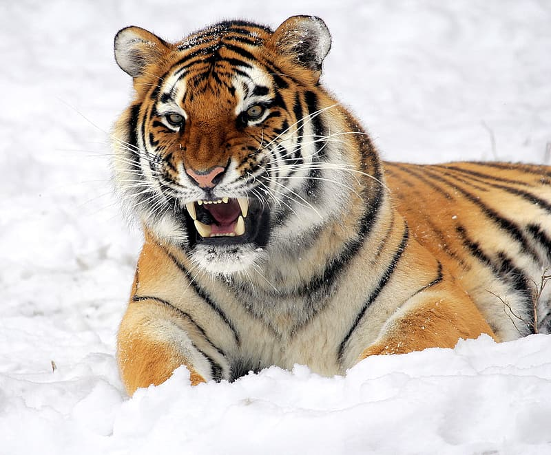 Tiger resting on snow field