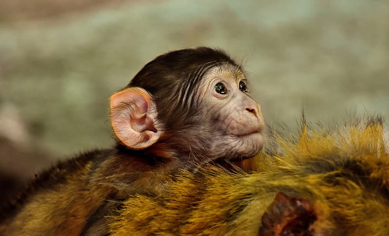 Brown and black baby monkey