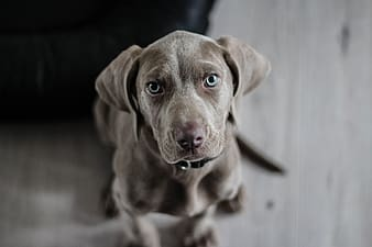 Brown weimaraner puppy